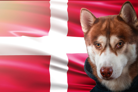 Patriotic dog proudly in front of Denmark flag. Portrait siberian husky in sweatshirt in the rays of bright sun. National celebration concept.