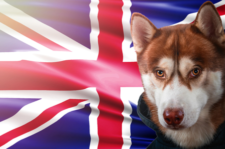 Patriotic dog proudly in front of United Kingdom state flag. Portrait siberian husky in sweatshirt in the rays of bright sun. National celebration concept.