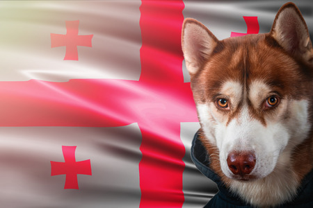 Patriotic dog proudly in front of Spain state flag. Portrait siberian husky in sweatshirt in the rays of bright sun. National celebration concept.