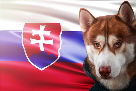 Patriotic dog proudly in front of Slovakia flag. Portrait siberian husky in sweatshirt in the rays of bright sun. National celebration concept.