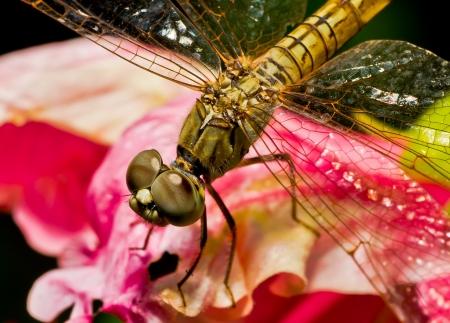 Foto de Macro dragonfly - Imagen libre de derechos