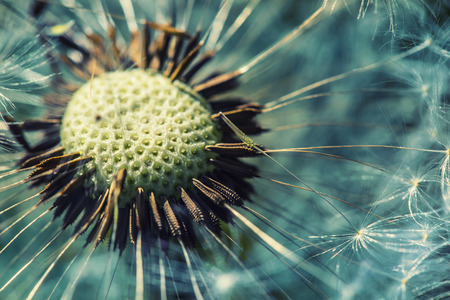 Foto de Dandelion with abstract background. Dandelion flower in detail - Imagen libre de derechos