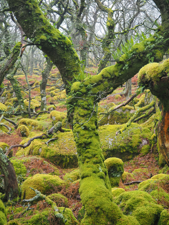 Foto per Black-a-Tor Copse high altitude oak woodland above the West Okement River where the bright green lichens and mosses cover the rocks and trees, Dartmoor National Park, Devon, UK - Immagine Royalty Free
