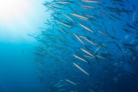 Photo pour A large shoal of Schooling Barracuda near the sunlit surface of the sea - image libre de droit
