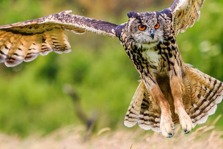 Eagle Owl swoops in low hunting its prey
