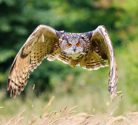 Eagle Owl soars low over a long grassy meadow