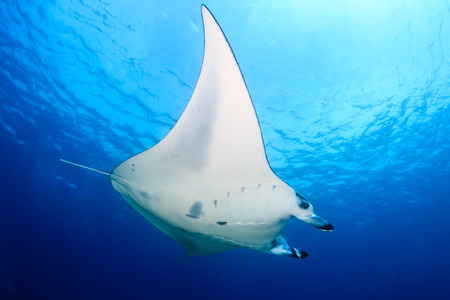 Photo pour Large Manta Ray swimming in clear blue water - image libre de droit