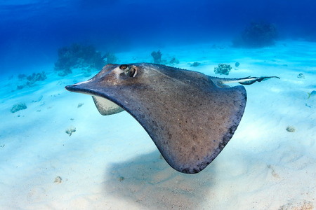 Stingray over a sandy lagoon