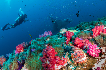 A SCUBA diver with a Scorpionfish and giant oceanic Manta Ray on a tropical coral reef