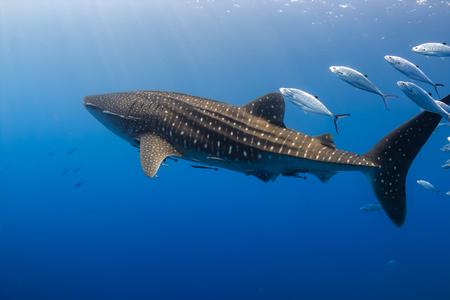 Foto de Large Whale Shark swimming in shallow water over a tropical coral reef - Imagen libre de derechos