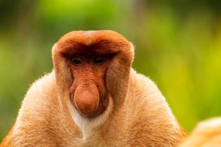 Photo pour Portrait of a wild Proboscis Monkey in the rainforest of Borneo - image libre de droit