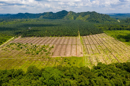 Foto per Aerial drone view of deforestation in a tropical rainforest to make way for palm oil plantations - Immagine Royalty Free