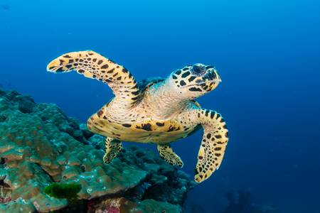 Photo pour Hawksbill Seaturtle on a colorful tropical coral reef - image libre de droit
