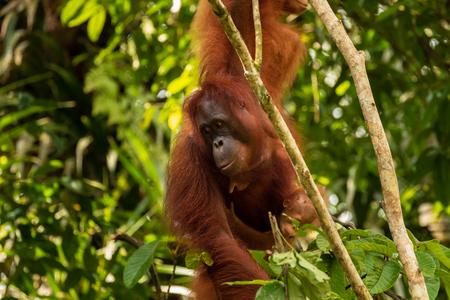 Photo pour Large Borneo Orangutan in a tree - image libre de droit