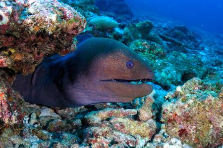 Foto de A Giant Moray Eel (Gymnothorax javanicus) on a tropical coral reef in Asia - Imagen libre de derechos