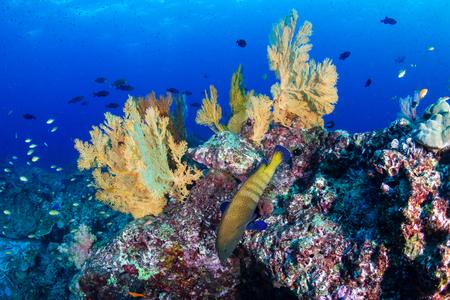 Photo pour Colorful tropical fish on a coral reef in Thailand - image libre de droit