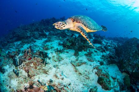 Photo pour Hawksbill Sea Turtle swimming along a tropical coral reef at sunrise - image libre de droit