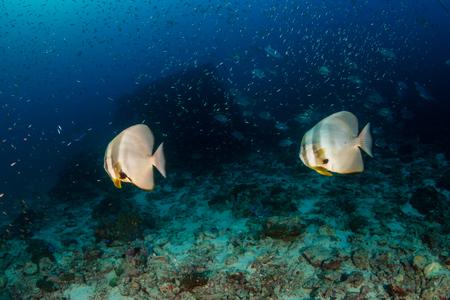 Photo pour Batfish on a dark, gloomy tropical coral reef - image libre de droit