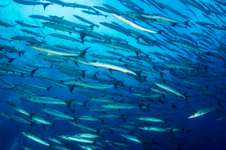 Photo pour A school of Barracuda in blue water above a tropical coral reef - image libre de droit