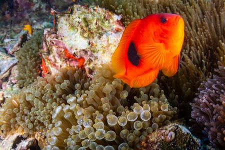 Photo pour Beautful Saddleback Tomato Clownfish on an asian tropical coral reef - image libre de droit