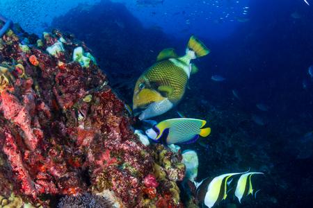 Photo pour Large Titan Triggerfish feeding on a tropical coral reef - image libre de droit