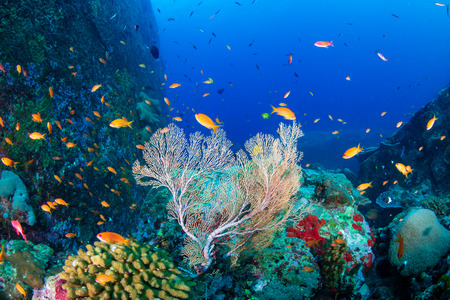Photo pour Tropical fish swimming around a beautiful tropical coral reef - image libre de droit