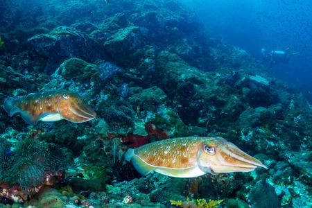 Photo pour A pair of Cuttlefish on a murky, dark coral reef (Black Rock, Mergui Archipelago, Myanmar) - image libre de droit