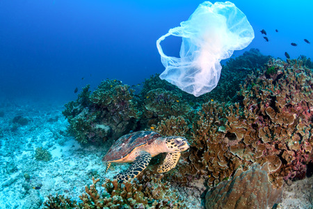 Photo pour Hawksbill Turtle feeding on a coral reef while a discarded plastic bag drifts past - image libre de droit