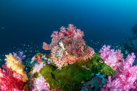 Photo pour Scorpionfish hidden amongst beautifully colored soft corals on a tropical reef (Mergui Archipelago, Myanmar) - image libre de droit