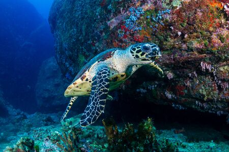 Photo pour Hawksbill Sea Turtle feeding on soft corals on a tropical coral reef - image libre de droit