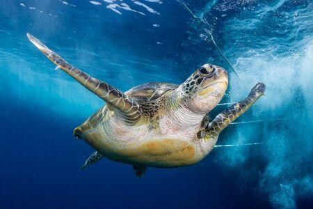 Photo pour Green Sea Turtle Behind a SCUBA Diving Boat in a Tropical Ocean - image libre de droit