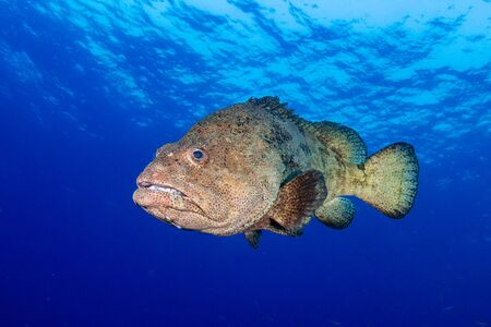 Photo for Large Grouper Underwater in a Tropical Ocean - Royalty Free Image