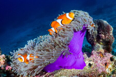 Photo pour Clownfish in their host anemone on a tropical coral reef - image libre de droit