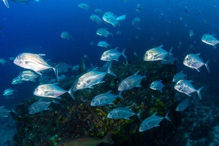 Photo pour School of Jacks on a tropical coral reef (Richelieu Rock, Thailand) - image libre de droit