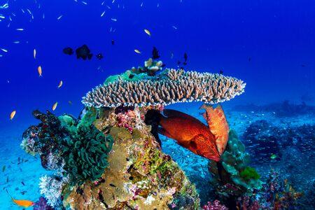 Photo pour A beautiful, colorful tropical coral reef in Thailand's Similan Islands - image libre de droit