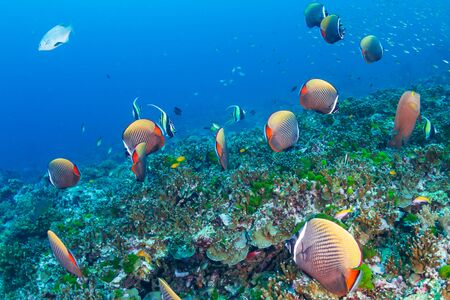 Photo pour A school of Red-tail Butterflyfish on a tropical coral reef - image libre de droit