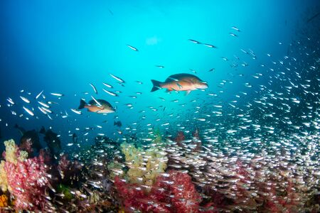 Photo pour Red Snapper on a colorful tropical coral reef in the Andaman Sea - image libre de droit
