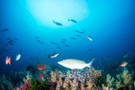 Photo pour Colorful hard and soft corals on the reef at Richelieu Rock, Thailand - image libre de droit