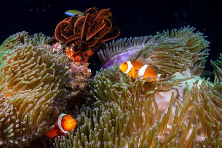 Photo pour Family of Clownfish on a murky coral reef in Asia - image libre de droit