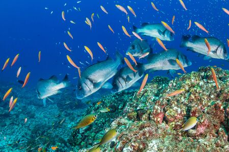 Photo pour Sweetlips on a tropical coral reef in Thailand - image libre de droit