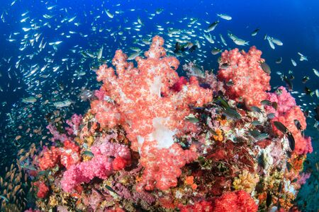Photo pour Beautiful hard and soft corals surrounded by tropical fish on a colorful, healthy tropical reef in Thailand - image libre de droit