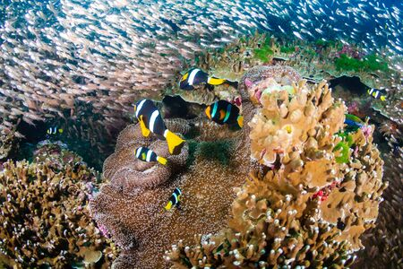 Photo pour Underwater image of a family of cute banded Clownfish (Clarks Anemonefish) on a tropical coral reef in Thailand's Similan Islands - image libre de droit