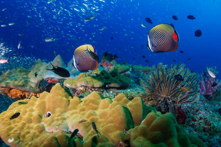 Photo pour Colorful red-tail Butterflyfish on a tropical coral reef in the Andaman Sea. - image libre de droit