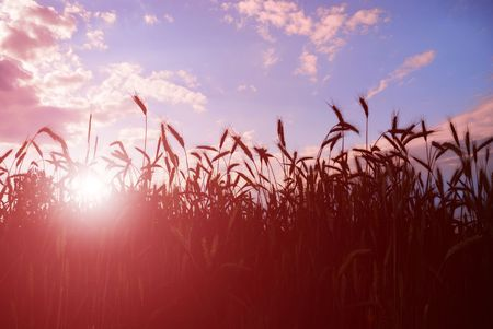 Photo pour Field of barley or wheat in sunset. - image libre de droit