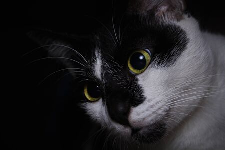 Photo pour Close-up cute face black and white cat looking up to her toys - image libre de droit
