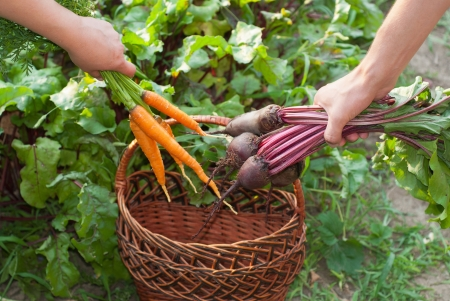Freshly Picked Beetroot and Carrots.