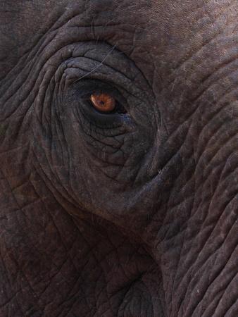 close up of Asia Elephant's eye