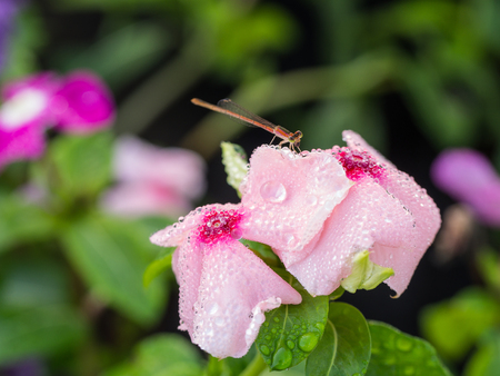 Dragonfly drank Water from Rain Drops on Pink Vinca Flower