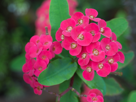 The Red Euphorbia milii Flowers Blooming in The Garden