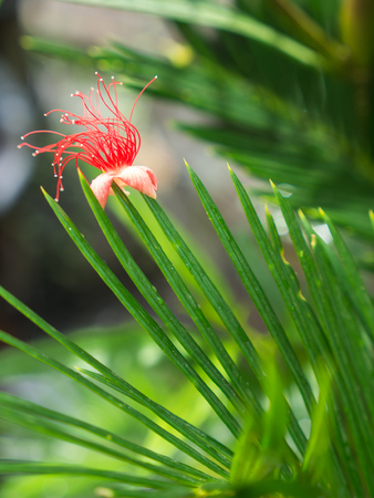 The Red Tummy-wood Flower is inserted on Top of The Palm Leaf
